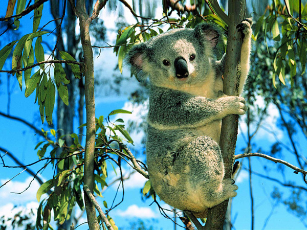 koala eucalyptus
