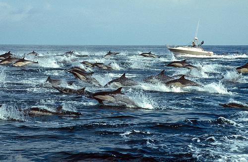 pod dolphins