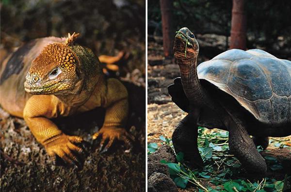 galapagos tortoise iguana