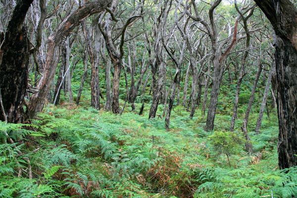 Australia Stringybark trees