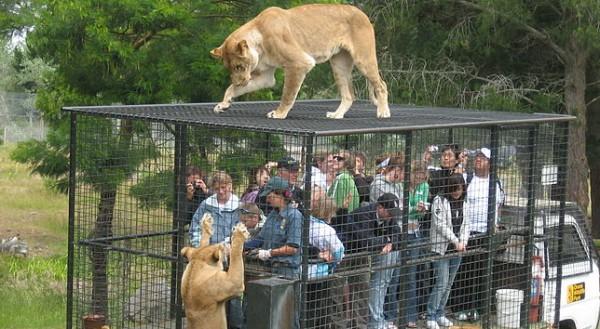 feeding lions zoo