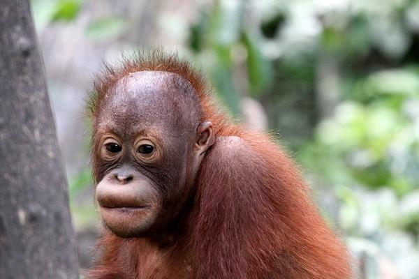 Baby Orangutan, Sepilok Nature Reserve.  Image credit:  Daniel Kleeman