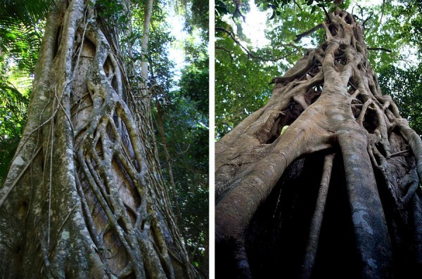 Strangler Fig Fraser Island