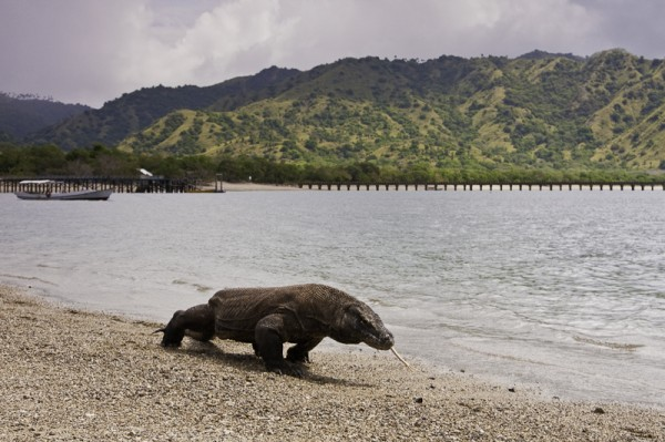 New Groups of Komodo Dragons Discovered in Flores
