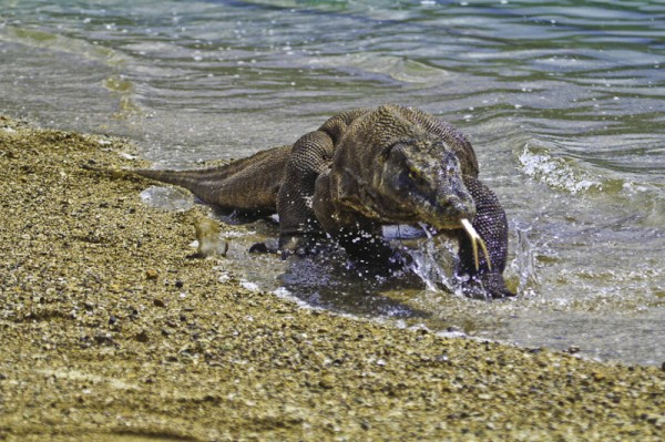Komodo dragon taking a dip, Komodo National Park.  Image: Adhi Rachdian