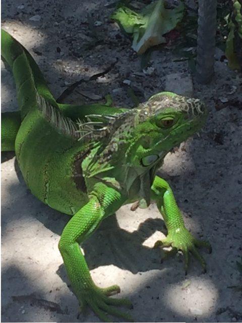 Iguana Ibis Bay