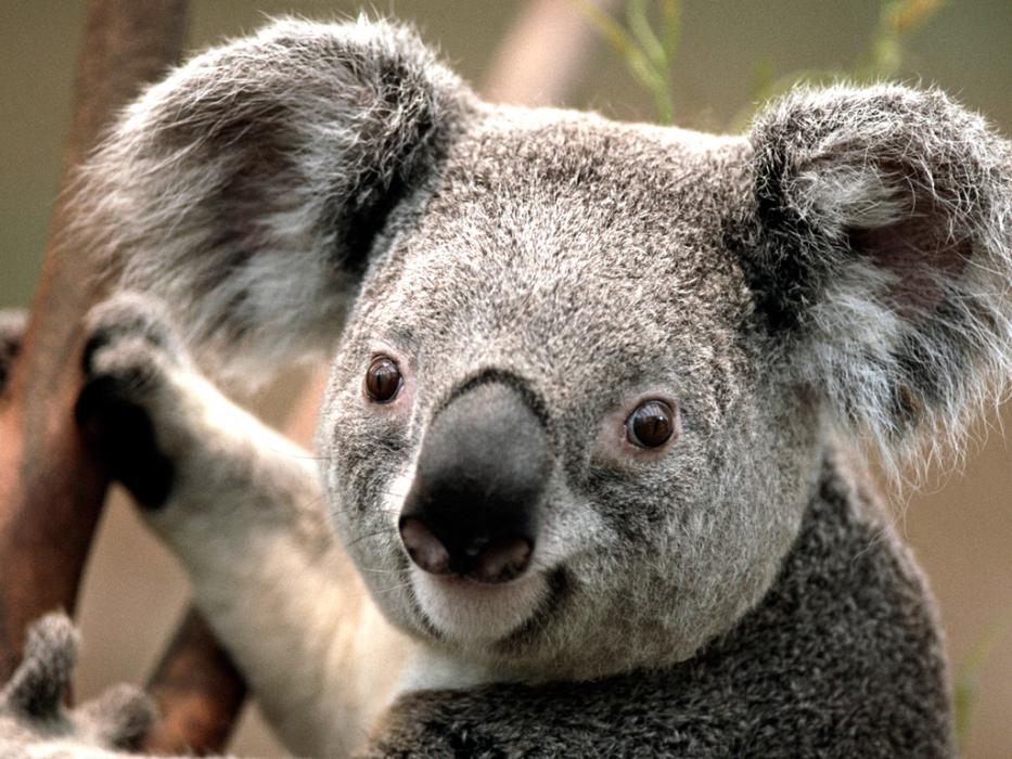 koala smiling