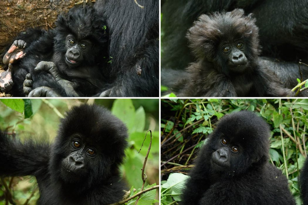 mountain gorilla babies