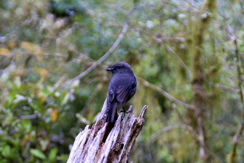 South Island Robin,
