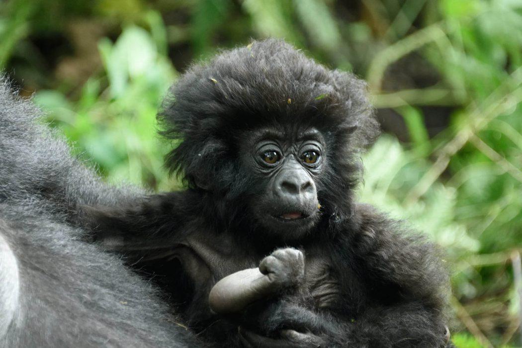 kwiti izina gorillas